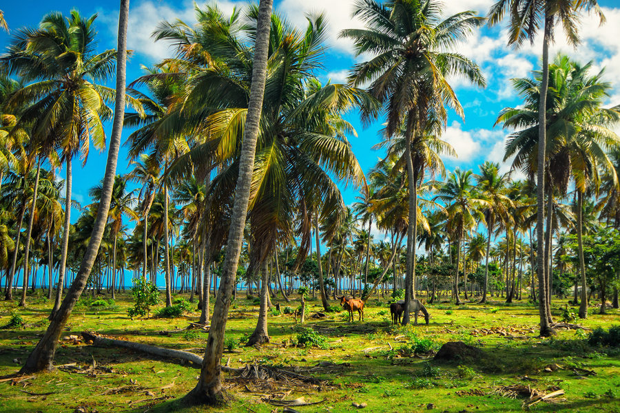 Dominican Republic  small horses and coconut palms