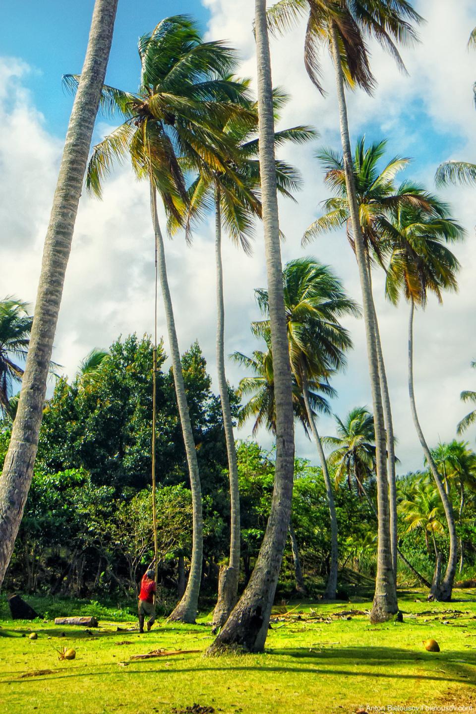 В Доминикане на территории отеля кокосы периодически сбивают длинной палкой чтобы не убило никого из отдыхающих