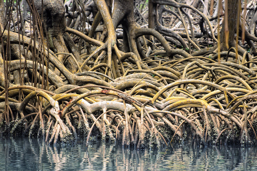 Dominican Republic  Los Haitises National Park mangrove roots