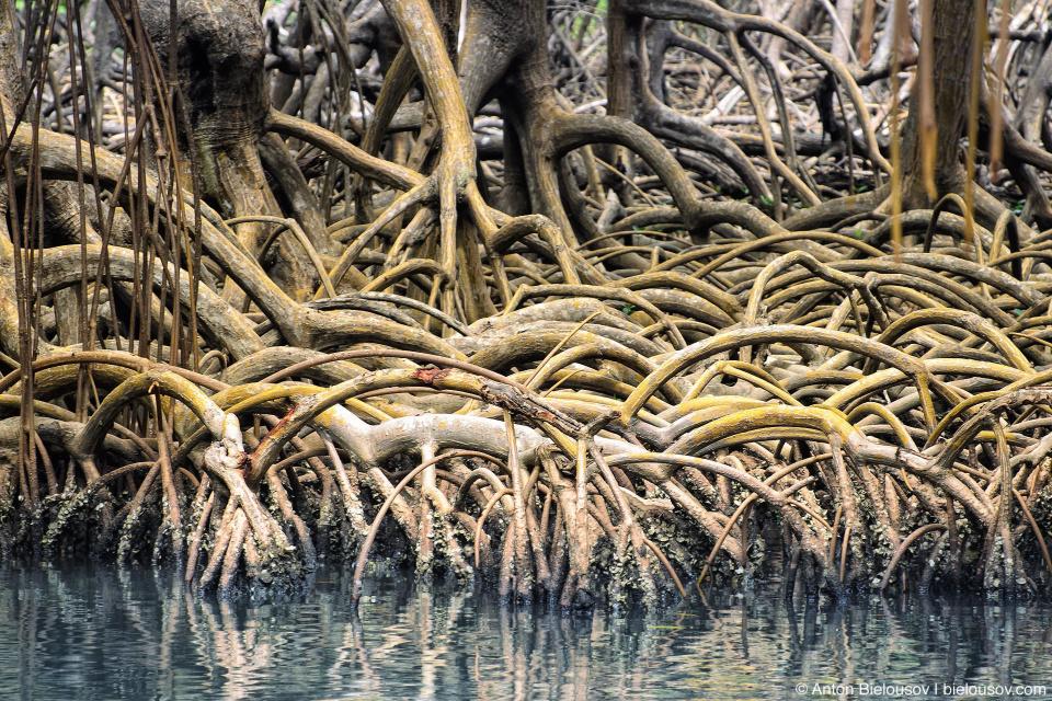 Dominican Republic — Los Haitises National Park mangrove roots