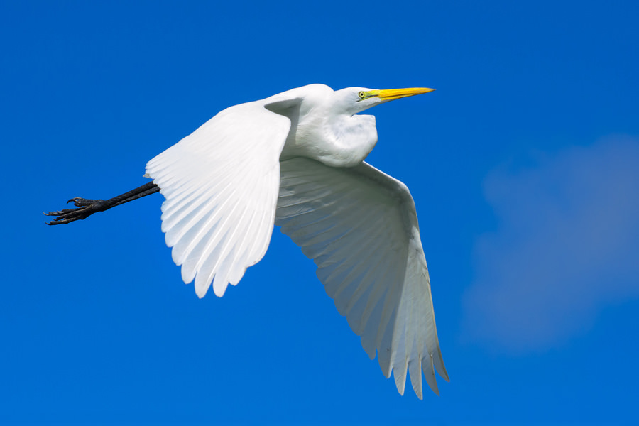 Flying cattle egret (Los Haitises, Dominican Republic)