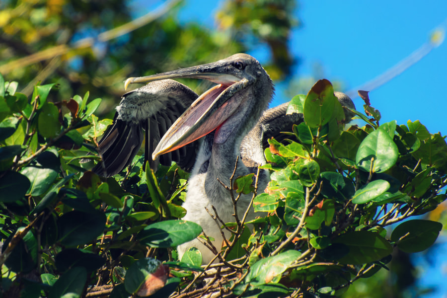 Teen pelican in the nest (Los Haitises, Dominican Republic)