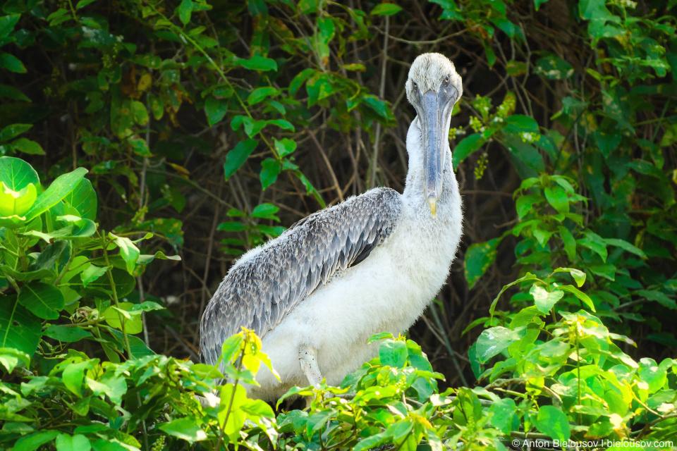 Teen pelican in the nest (Los Haitises, Dominican Republic)
