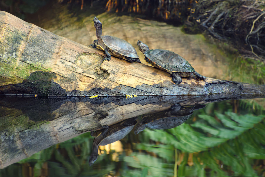Turtles in Samaná (Dominican Republic)