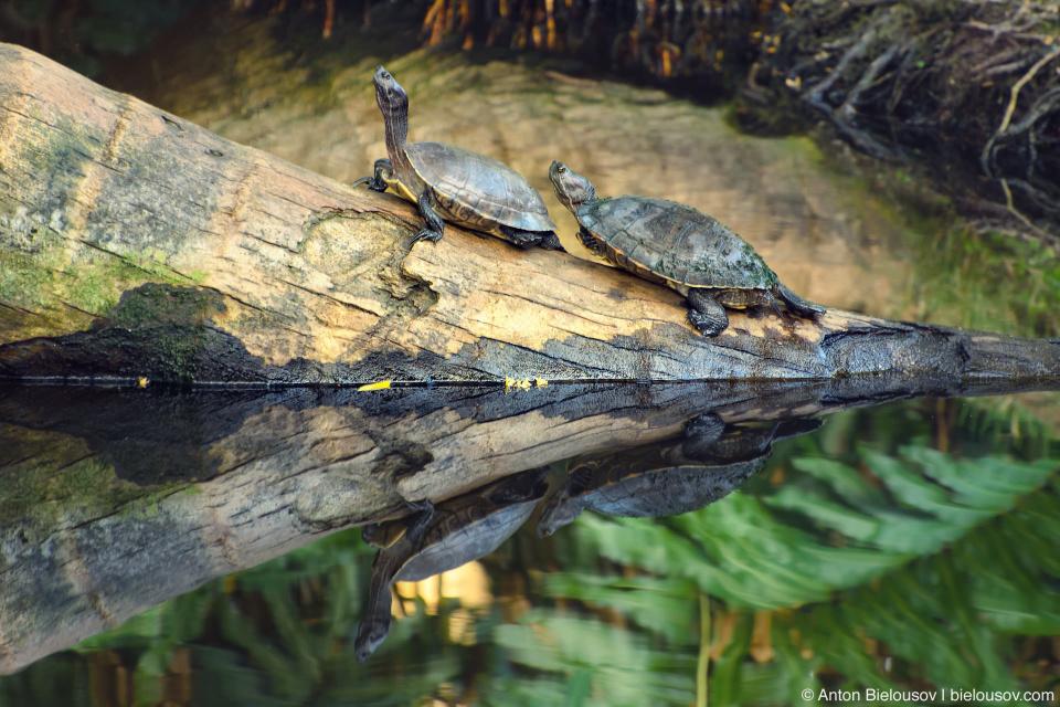 Turtles in Samaná (Dominican Republic)