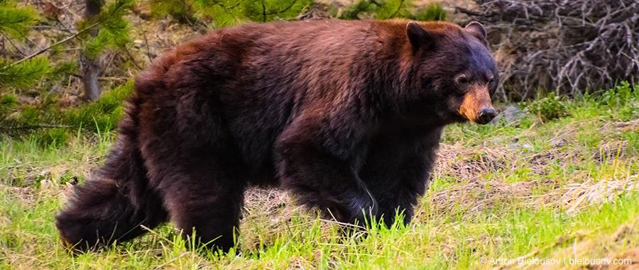 Бурый медведь (Канада, Британская Колумбия)