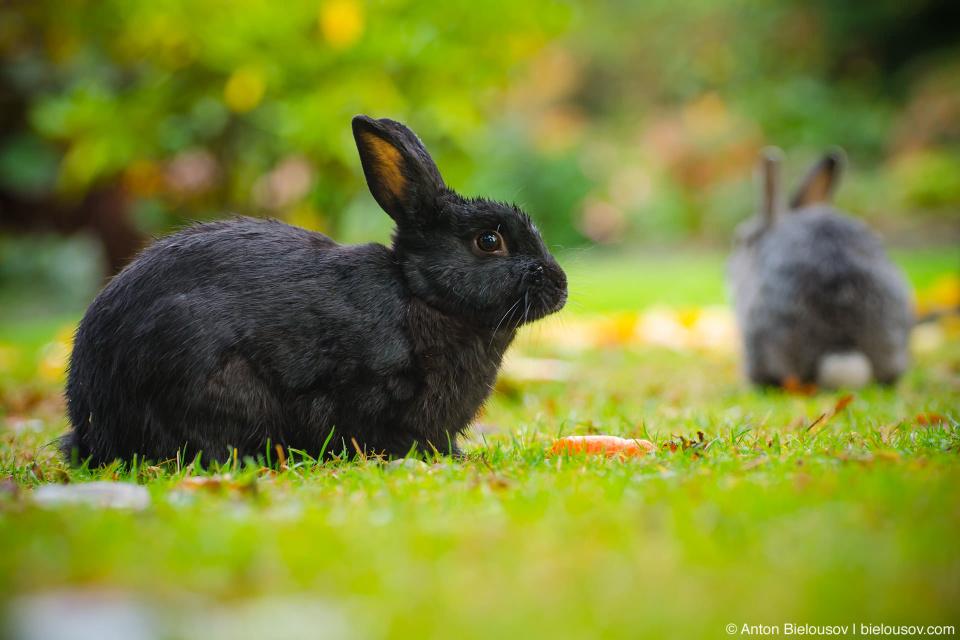 Black rabbit in Minoru Park, Richmond, BC