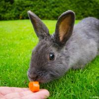Кормлю кролика морковкой