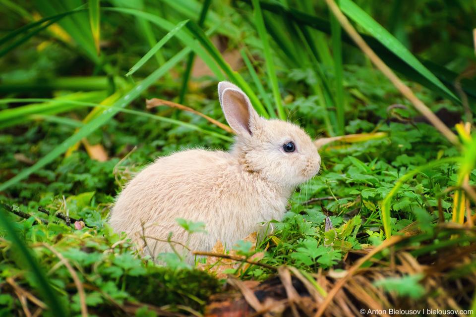 Baby bunny in Minoru Park (Richmond, BC)