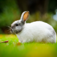 White bunny in Minoru Park grass (Richmond, BC)