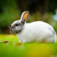 White bunny in Minoru Park grass (Richmond, BC)