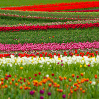Тюльпановые поля в Британской Колумбии