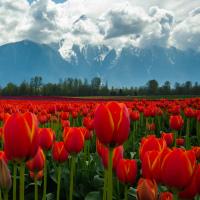 Гора Mt.Cheam и тюльпановые поля возле городка Agassiz, BC