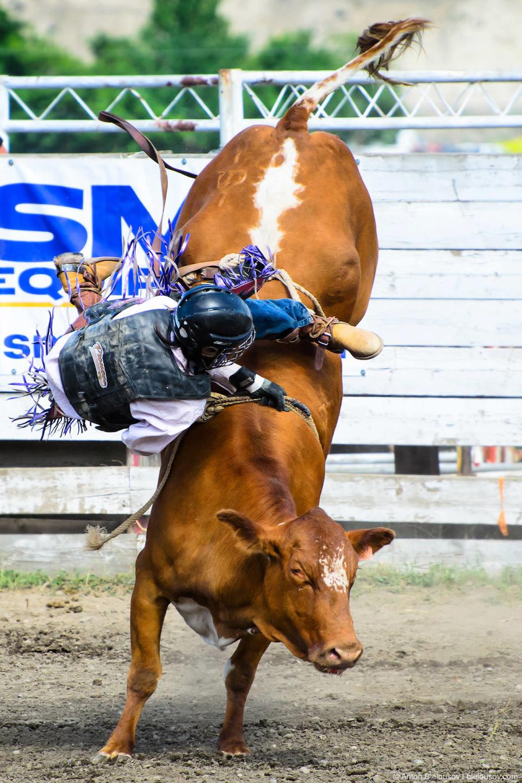 Steer Roping — Это соревнование запрещено на большей части Штатов из-за повышенной травмоопасности как для ковбоя, так и для быка. Я так понял, что опасность заключается в том, как завязывается веревка и как она стягивает быка. Бычки в этом соревновании молодые, не такие большие как в Bull Riding.