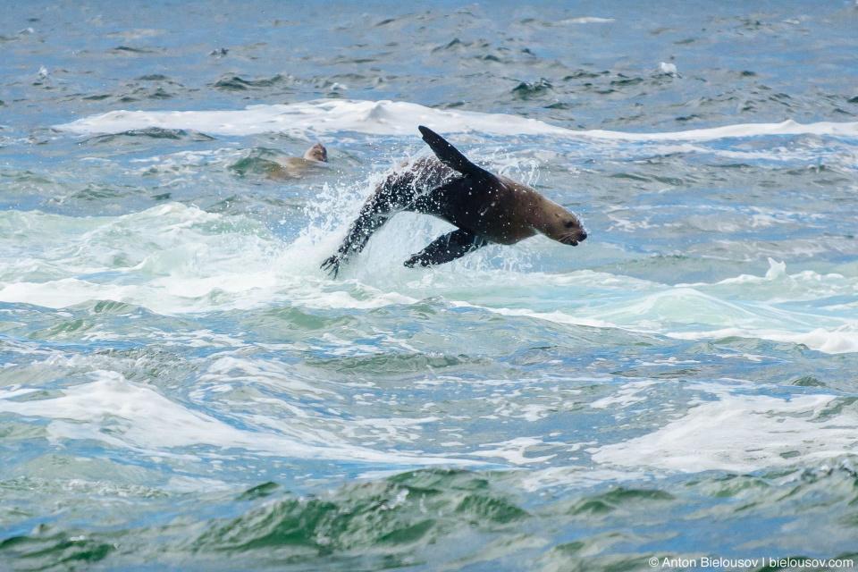 Морской лев выпрыгивает из воды (California Sea Lion at Pacific Rim National Park — Vancouver Island)
