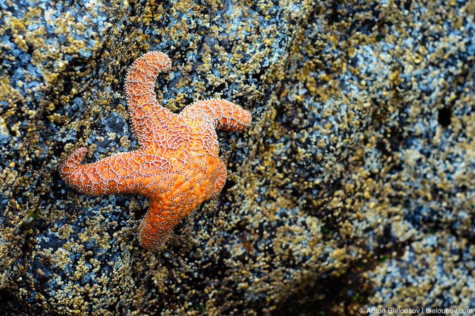 Starfish at Pacific Rim National Park (Vancouver Island) © Anton Bielousov, 2013