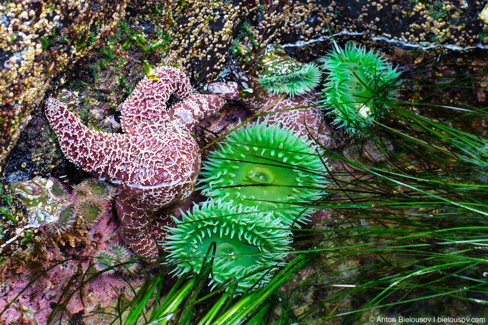 Морские звезды в изобилии гнездятся прямо на актиниях… да, это Британская Колумбия, детка. Pacific Rim National Park (Vancouver Island) © Anton Bielousov, 2013