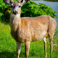 Black-tailed Deer (Ucluelet, BC)