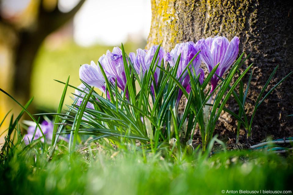 И еще цветут крокусы — те самые, которые из разновидностей шафрана — да, Ванкувер настолько суров, что здесь сорняками растут специи, которые на вес золота.