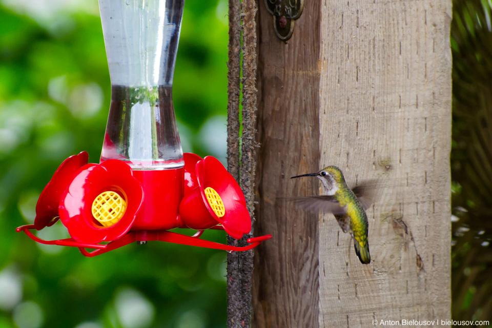 Колибри Калипта Анны у кормушки  (Anna's hummingbird, Finns Slough, Richmond, BC)