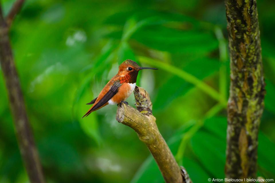 Охристый колибри (rufous hummingbird, Finns Slough, Richmond, BC)