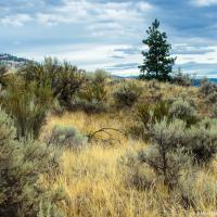 Конечно же пустыня по-канадски — это, главным образом, степь с зарослями антилопьего кустарника (Antelope-brush).