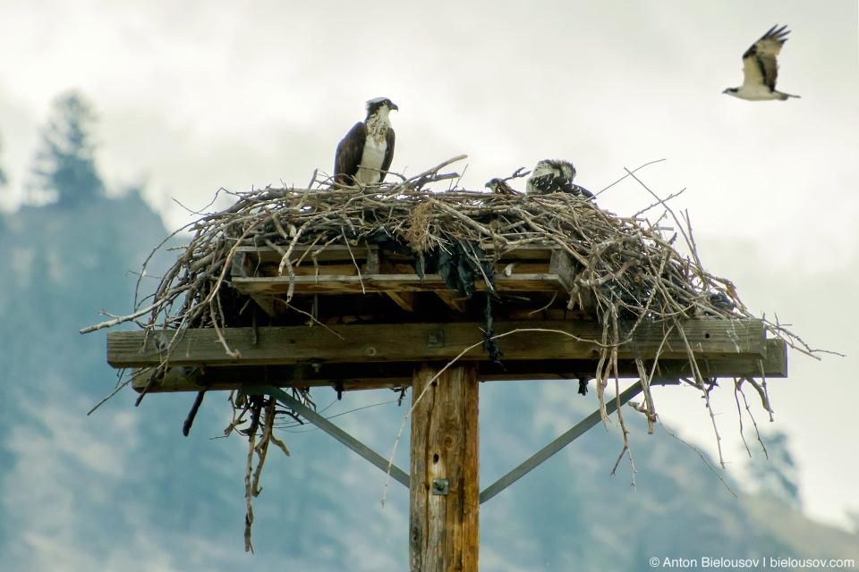 Как и вокруг озера Оканаган здесь, на берегах Осуюса в небе главенствуют рыбоядные скопы (Osprey).