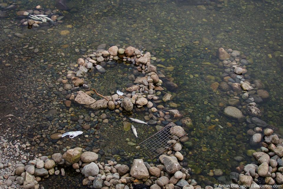 Так индейцы ловят лосося в реке Капилано