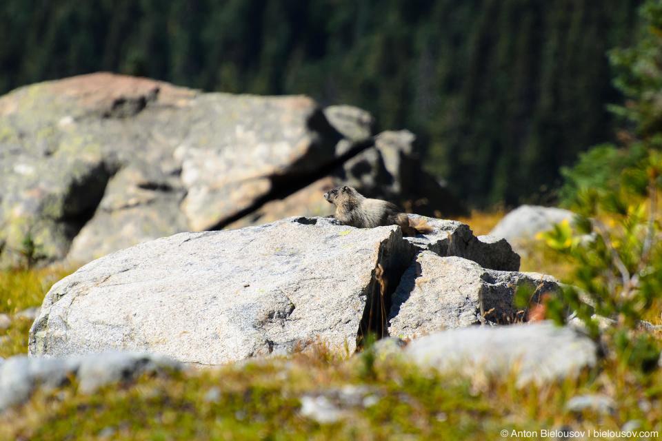 Yellow-bellied marmot, Whistler, BC