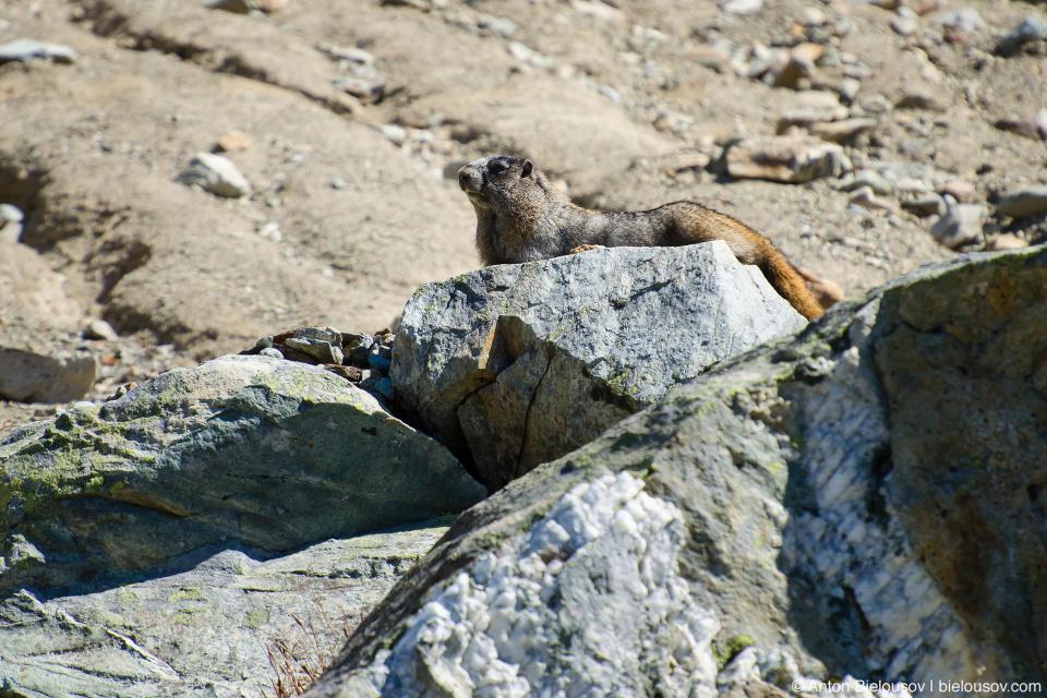 Желтобрюхий сурок (Yellow-bellied marmot —  Marmota flaviventris), Whistler, BC