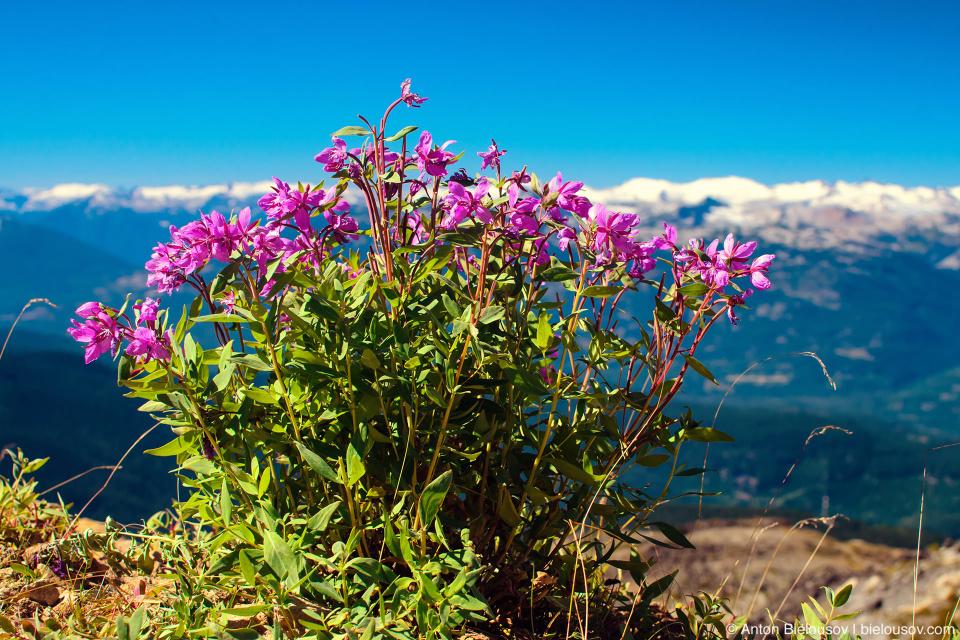 Альпийские цветы на горе Whistler