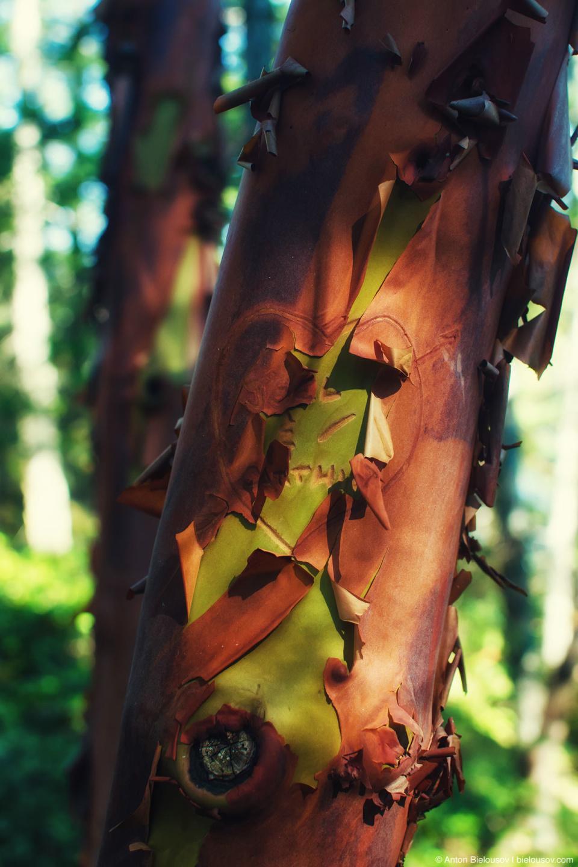Arbutus — земляничное дерево — секрет этого растения прост — вместо то, чтобы сбрасывать листья, оно сбрасывать кору.