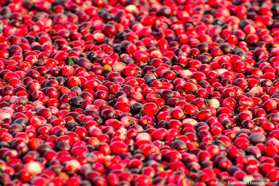 Клюква на вкус — кисловата и чем-то напоминает яблоки (я выловил пару жмень из болота). Вообще, это — одна из самых питательных ягод, богатая витамином С, калием и железом, органическими кислотами и антиоксидантами.