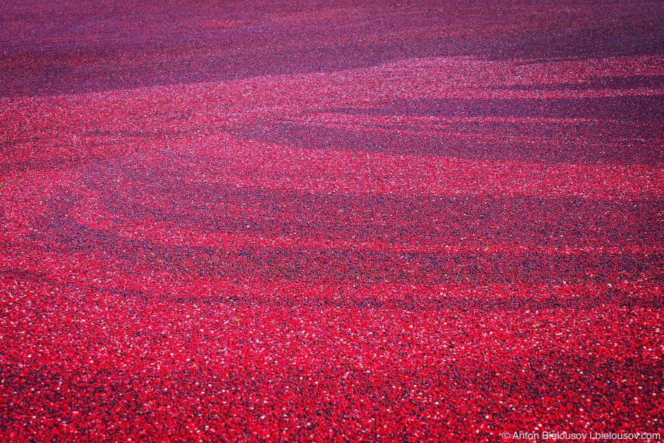 90—95% клюквы в Северной Америке собирается именно таким способом и, в отличие от сухогосбора, ягоды, собранные в болоте не подлежат длительному хранению и должны быть сразу обработаны или заморожены.