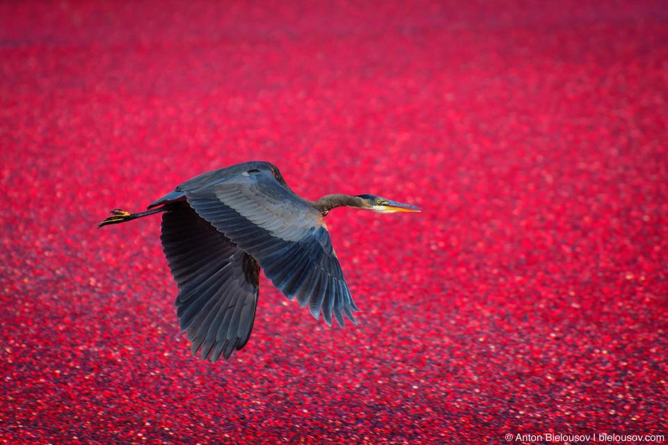 В английском языке название cranberry растение получило за форму цветов, напоминающую длинную журавлиную шею с длинным же клювом.