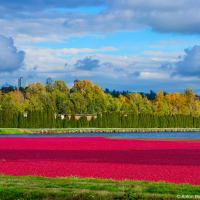 Клюква (cranberry) само по себе растение болотное, но в сельском хозяйстве выращивается на сухой почве в низинах, орашаемых каналами. Ягоды выростают размером с крупный шиповник и тогда есть два способа их собрать — сухой: пройти и общипать все кусты и умный — мокрый.