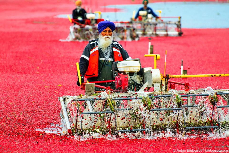 Сбор урожая клюквы в Ричмонде: отряды наемной силы проходят по пояс в воде с молотилками и оббивают кусты, чтобы сбить с них ягоды.
