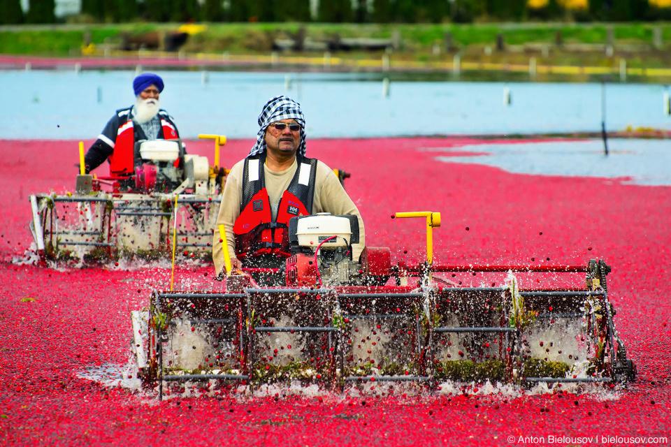 Сбор урожая клюквы в Ричмонде: отряды наемной силы проходят по пояс в воде с молотилками и оббивают кусты чтобы сбить с них яходы.