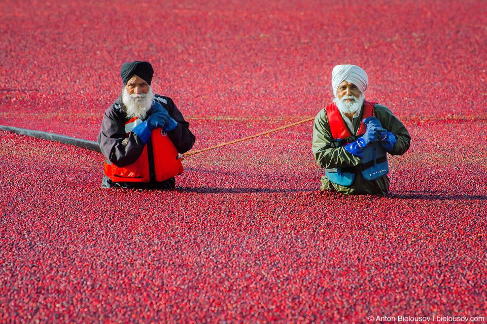 Сбор урожая клюквы в Ричмонде: рабочие при помощи бонов — плавучих заграждений — отсекают часть ягод. По частям они перетягивают все больше и больше ягод к месту погрузки.