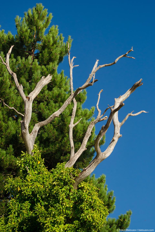 Сухое земляничное дерево