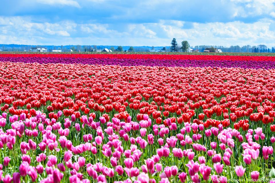 Тюльпановые поля RoozenGaarde: Фестиваль тюльпанов (Skagit Valley, Mount Vernon, WA)