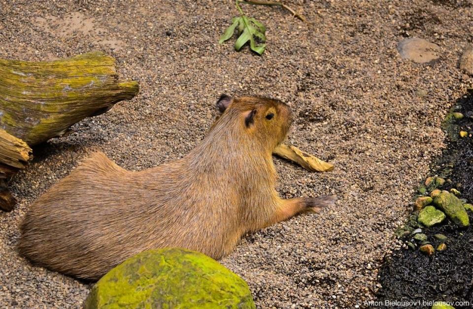 Capybara in Montréal Bio Dôme
