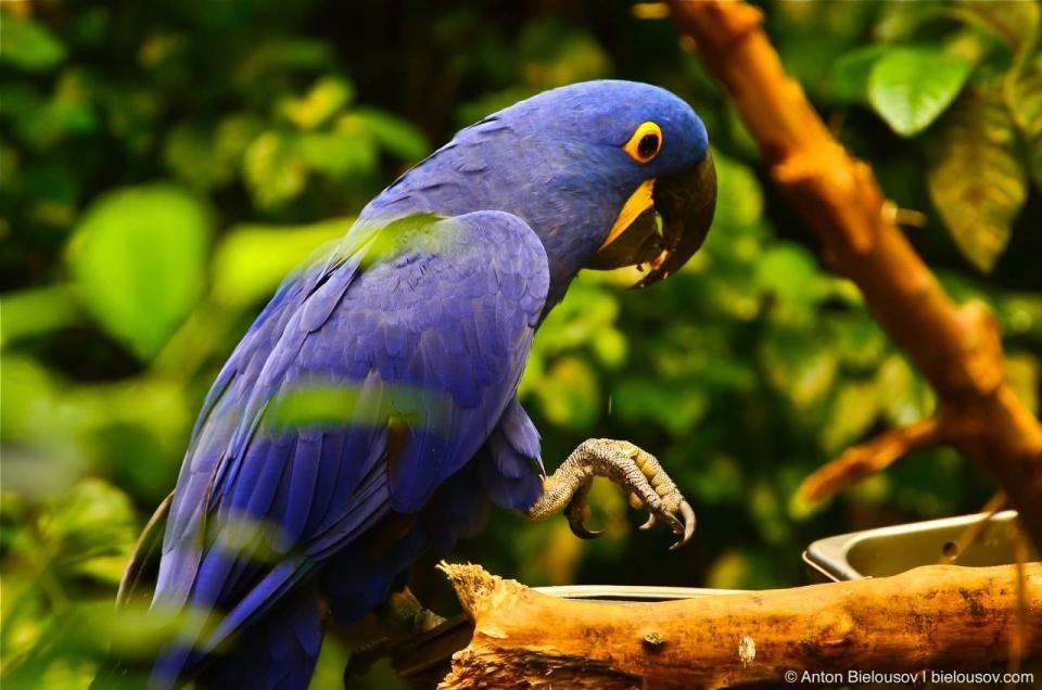 Hyacinth macaw in Montréal Bio Dôme