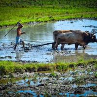 Cuban Oxen