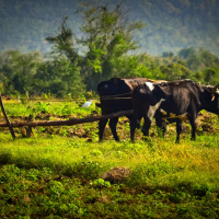 Plowing with cows on Cuba