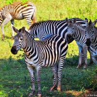 Cuban zebras