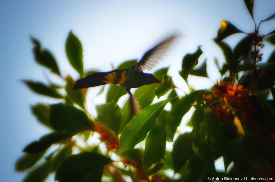 Cuban calibri bird