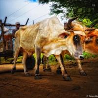 Cuban Ox
