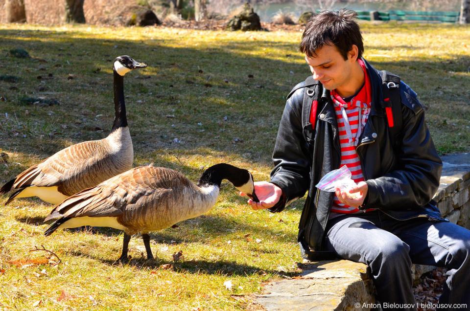 Feeding Canada Geese