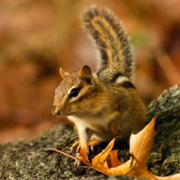 Chipmunk in Toronto High Park